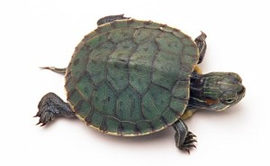 small-pet-turtle-01