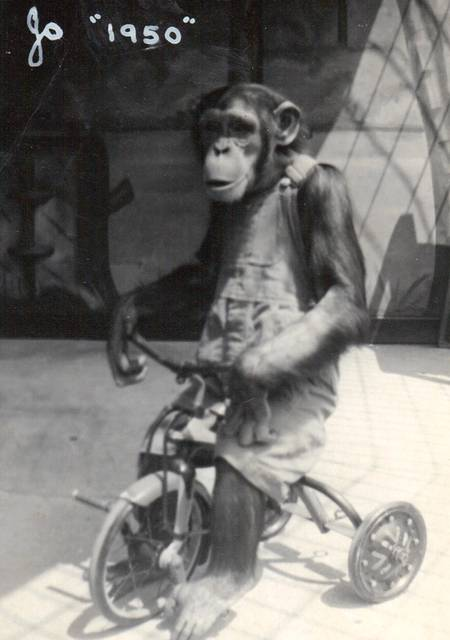 Jo Mendi 1950  http://www.zoochat.com/562/jo-mendi-ii-detroit-zoo-chimpanzee-204753/